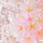 3月の誕生花!桜を大切な人に贈る時の6のポイント