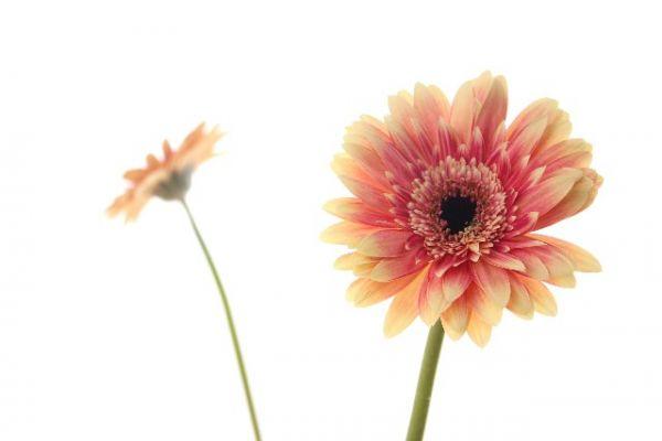 ガーベラの花言葉を理解した気持ち伝わる贈り方6選