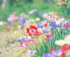 アネモネの花言葉を理解した気持ち伝わる贈り方6選