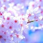 桜の花言葉を理解した気持ち伝わる贈り方6選