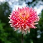ダリアの花言葉を理解した気持ち伝わる贈り方6選