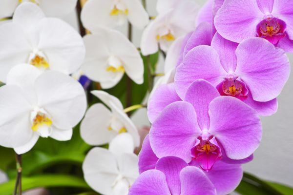 幸せな花言葉①幸せを呼び寄せる胡蝶蘭