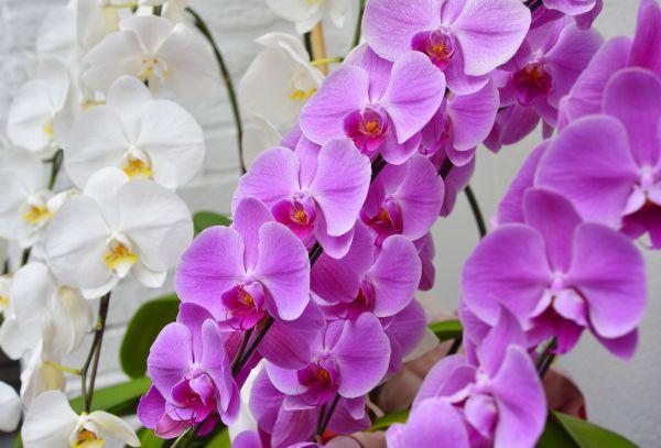 恋愛の花言葉⑤ 特別な愛を贈る胡蝶蘭
