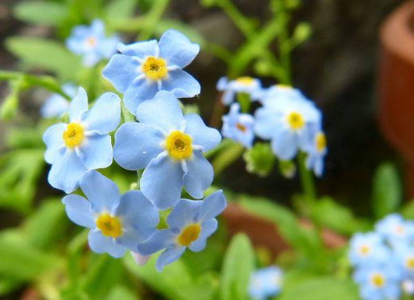 悲しい花言葉⑥別れに歌う勿忘草(ワスレナグサ)