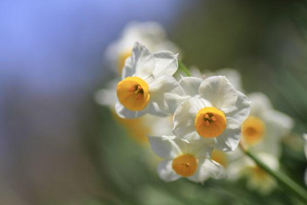 悲しい花言葉⑧再燃する恋を歌う水仙