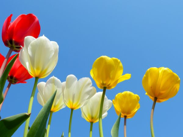 恋愛の花言葉③愛の告白に贈るチューリップ