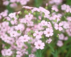 かすみ草の花言葉を使ってお洒落でスマートに贈る6つのコツ