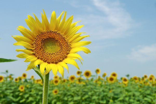 恋愛の花言葉②熱烈な想いを贈るひまわり