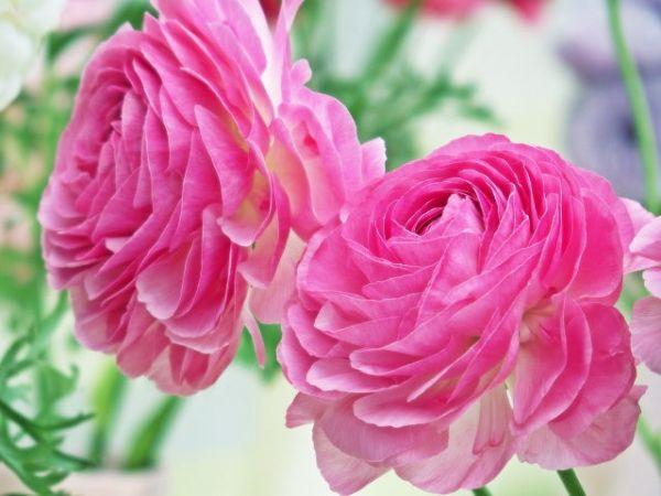 幸せな花言葉④最高の一日に贈るラナンキュラス