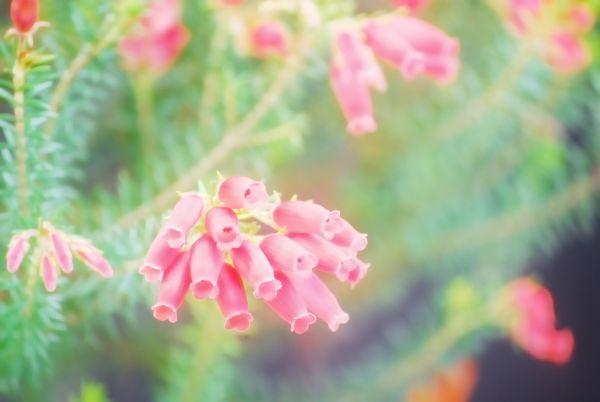 悲しい花言葉⑦孤独を抱えて歌うエリカ