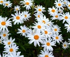 マーガレットの花言葉を使ってお洒落でスマートに贈る6のコツ