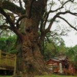 日本の由緒正しき神社の有名なご神木をご紹介