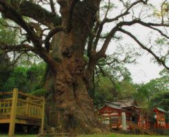 神社の有名な御神木①蒲生八幡神社
